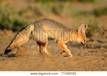 Cape fox (Vulpes chama) outside its den, Kalahari desert, South Africa