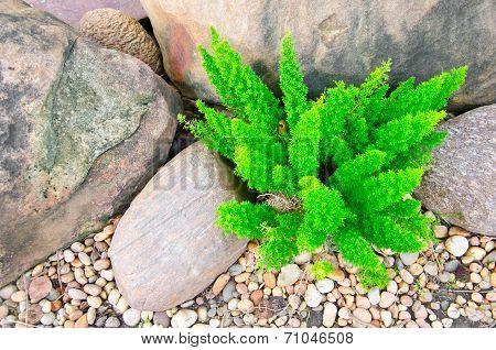 Asparagus Fern.