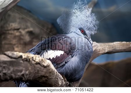 Crowned pigeon (Goura cristata) sitting on tree branch