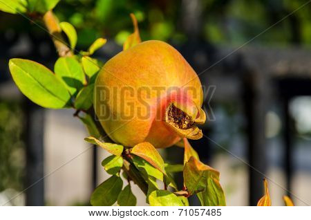 Ripening On A Branch Of Pomegranate