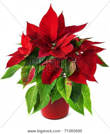 Red and green poinsettia plant for Christmas isolated on white background