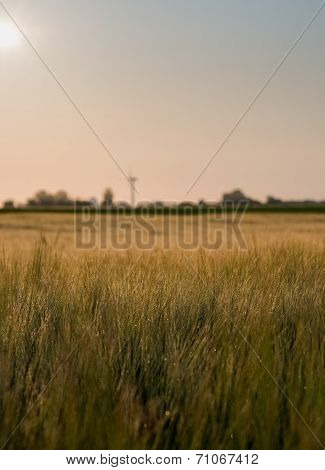 Moist Wheat Field