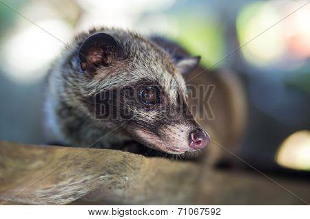 Asian Palm Civet  produces Kopi luwak