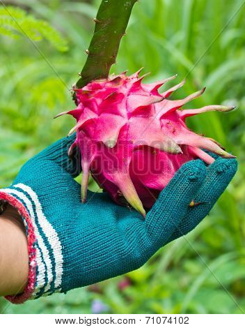 Hand Selecting The Best Dragon Fruit From Garden