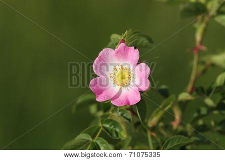 Dog Rose Wild Flower