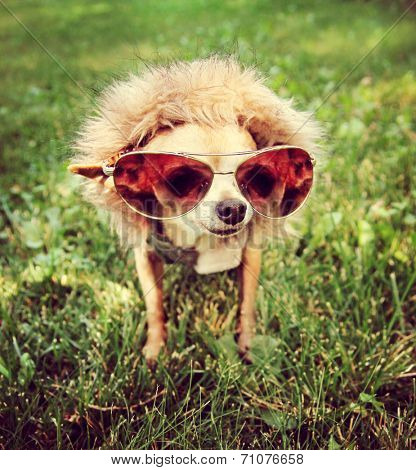a cute chihuahua with aviator sunglasses on toned with a retro vintage instagram filter