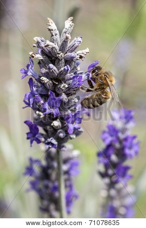bee looking for nectar on purple flowers of lavender