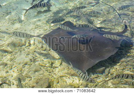 Sting ray