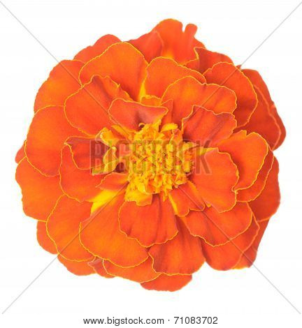 Orange African Marigold