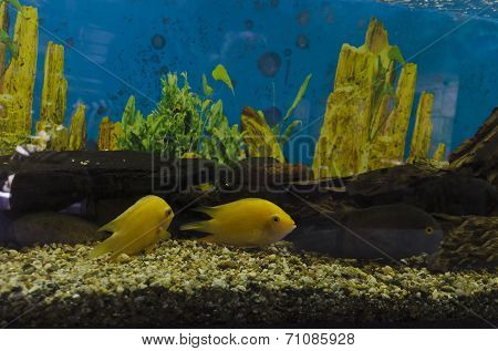 Two goldfish swimming in aquarium with green plants