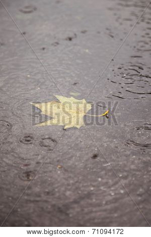 Yellow Maple Leaf During Rainfall In Puddle