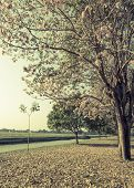 picture of lapacho  - Beautiful view of pink trumpet or tabebuia blossom in retro style color - JPG