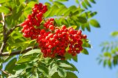 stock photo of mountain-ash  - photo a mountain ash cluster against the goloby sky