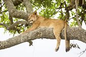 image of african lion  - An african lion sleeping in a tree a hot day in Serengeti - JPG