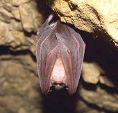 stock photo of bat wings  - Lesser Horseshoe Bat  - JPG
