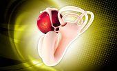 picture of inner ear  - digital illustration of Ear anatomy in colour background - JPG
