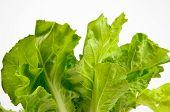 pic of butter-lettuce  - Fresh lettuce isolated on the white background - JPG
