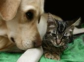 stock photo of babysitting  - Labrador retriever and a small kitten happy together - JPG