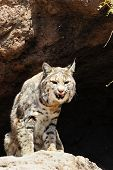 foto of bobcat  - A bobcat with his tongue sticking out - JPG