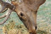 stock photo of cervus elaphus  - detail of red deer  - JPG