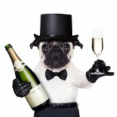 image of french toast  - pug with a champagne glass and a bottle on the other side toasting for new years eve - JPG