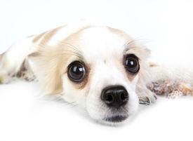 stock photo of chiwawa  - Chihuahua dog lying down on white background - JPG