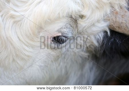 The One Eye Of Cow
