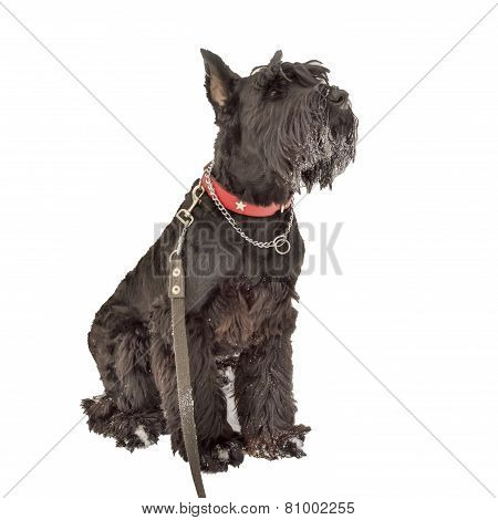 Giant Schnauzer Dog Sitting In A Snow Isolated On White Background