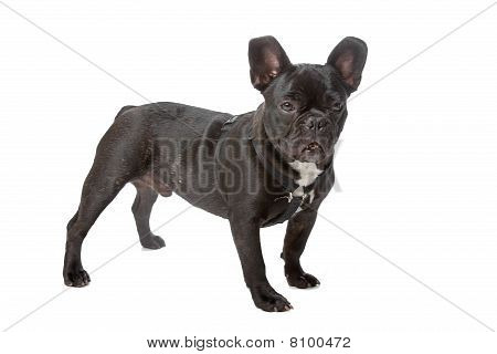 French bulldog (Frenchie)