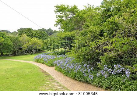Agapanthus Flowers Along A Footpath