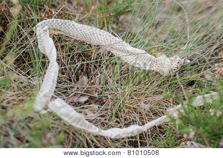 Shed Snake Dry Skin In Nature
