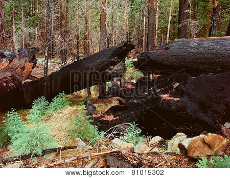 Burnt Giant Sequoia