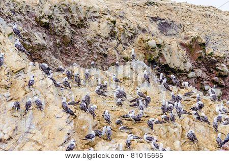 Islas Ballestas, Peru - boobies colony