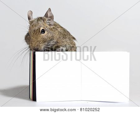 Degu Pet With Blank Poster In Paws