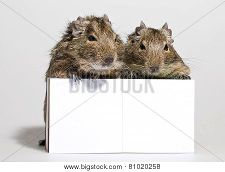 Two Degu Pets With Blank Poster In Paws