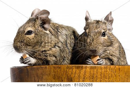 Two Degu Rodents