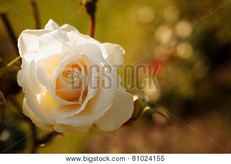 Gentle white rose