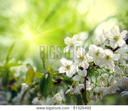 Green Spring Background With Beautiful Flowering Tree