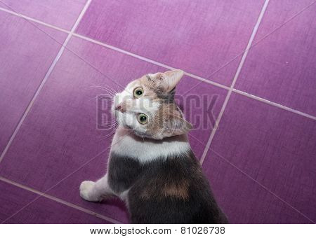 Mottled Purple Cat Stands On  Floor