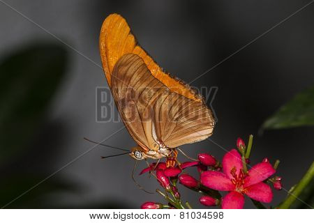 Orange Julia Longwing Butterfly