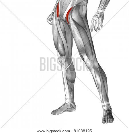 Concept or conceptual 3D iliopsoas human upper leg anatomy or anatomical and muscle isolated on white background