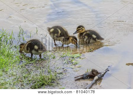 Little Duckling Standing On Shore Of A Lake