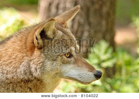 Chacal - Canis Latrans
