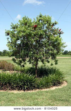 Bottlebrush Tree 2