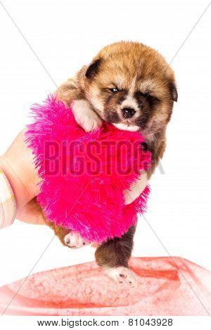 Akita-inu, akita inu dog puppy