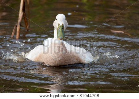 White Duck With Green Bill Splashing In The Water