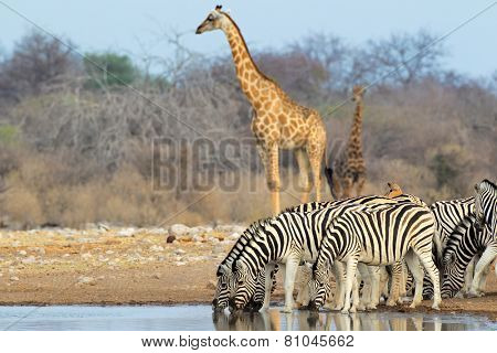Plains (Burchells) zebras and giraffes at a waterhole, Etosha National Park, Namibia