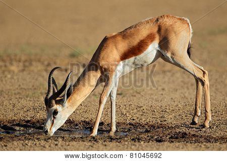 A springbok antelope (Antidorcas marsupialis) drinking water, Kalahari desert, South Africa