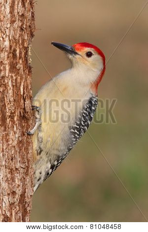 Woodpecker On A Tree Trunk