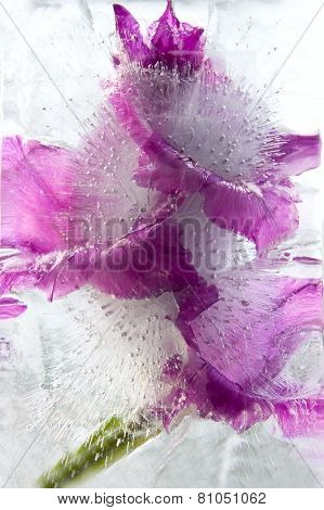 Frozen   Flower Of   Gladiolus
